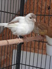 Fife Kanarienvögel abzugeben