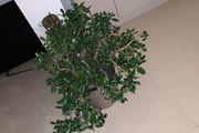 Pfennig Baum
