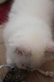 Kuschelige Ragdoll Kätzchen auf der