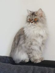 Perser Katze wartet auf ein