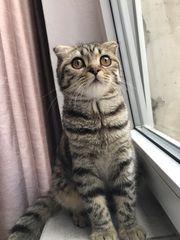 Scottisch fold Katze abzugeben mit