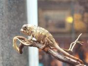 Furcifer Pardalis Jungtiere zum verkaufen