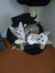 Siammix Kitten Edelmix