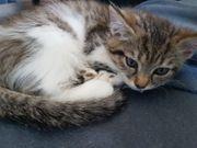 Bkh Maincoon Prinzessin Kitten
