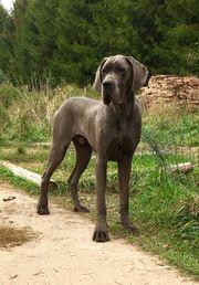 Deutsche Dogge Blau Rude 15