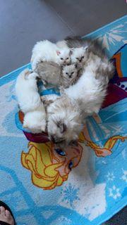 Perser Kitten reinrassige Katzenbabys