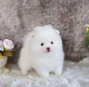 Mini mini Pomeranian Zwergspitzwelpen