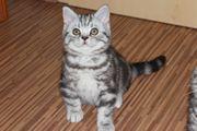Super Süße BKH-Whiskas Kitten Kätzchen