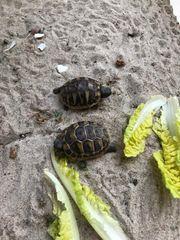 Griechische Landschildkröten TH