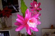 Epiphyllum hybrid Deutsche Kaiserin Pink -