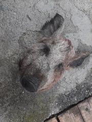 Dekorations Schweinskopf