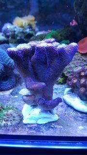 Große Meerwasser Ableger Stylophora pistillata