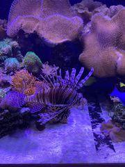 Feuerfisch Meerwasser