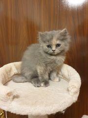 Süße Perser Kätzchen
