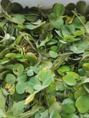 Schwimmpflanze Muschelblume