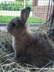 Farbenzwerg Zwergkaninchen Kaninchen männlich ca