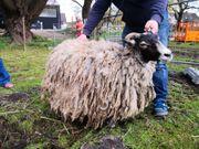 Schafe Alpaka oder Lama scheren