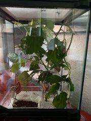 Phyllium philippinicum bzw wandelndes Blatt
