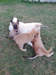 Malinois Weißer Schäferhund Mix Welpen