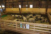 Shropshire Schafe aus Herdbuch - Stammzucht