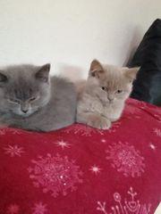 BKH Kitten blue und creme