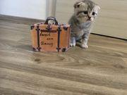 BKH Kitten Scotisch Fold