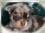 Chihuahua Wurfankündigung Lang Haar