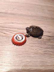 Mississipi Höckerschildkröten abzugeben