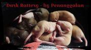 Private Ratten Hobbyzucht