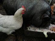 Hühner Küken Hennen und Hähne