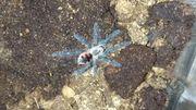 Pamphobeteus sp machala Vogelspinnen