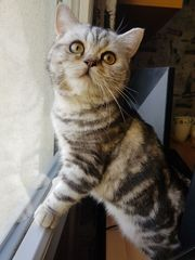 Katze mit Stammbaum BKH Whiskas