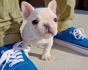 Liebenswert Französische Bulldogge blue