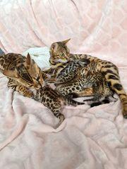 Bengal Kitten Bengalkatzen Bengalen