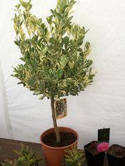 Calamondin Orange Citrus VARIEGATA Baum