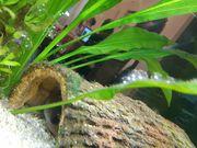 Axolotl Eier