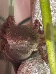 Suche Axolotl Gold