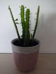 Euphorbia Trigona Wolfsmilch Kaktus Sukkulente