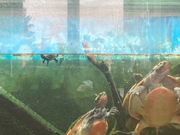 3 junge Rotbauchspitzkopfschildköten zu bverkaufen