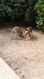 2 Junge rüden suchen umständehalber