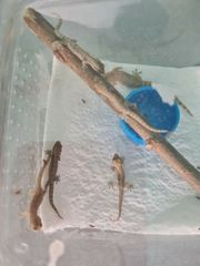 6x junge Jungferngeckos frischer Zuchtansatz
