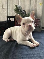 Kakao Französische Bulldogge