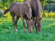 Quarterhorse Fohlen