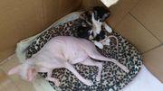 Sphynx mit Kitte zusammen