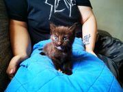 4 BKH Mix Kitten suchen