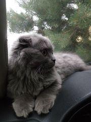 Katze Britisch Kurzhaar - scottisch Fold
