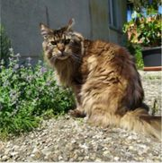 2 liebevolle Maine Coon Kater