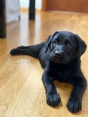 reinrassige Labrador Welpin mit Ahnentafel