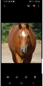 Traumpferd Quarter Horse