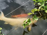 Japan Koi weiß 70 cm